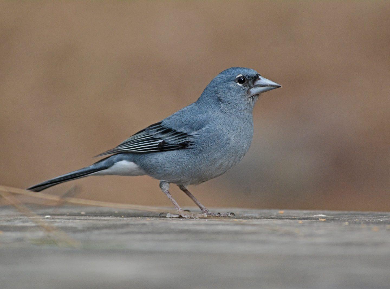 Viajar a las Islas Canarias a observar aves