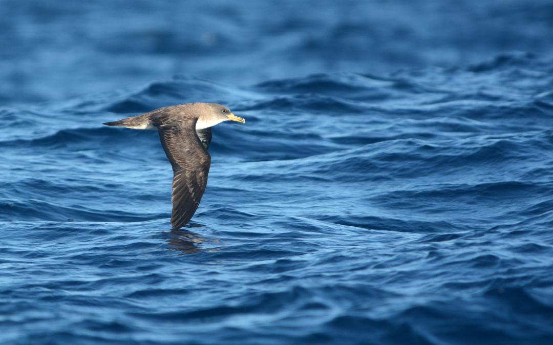 Navegar a las Islas salvajes. Entre olas, ballenas y pardelas…