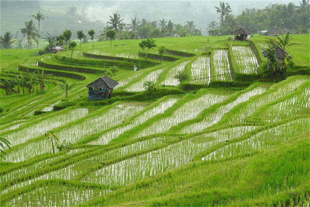 Estampas viajeras: entre los arrozales de Bali