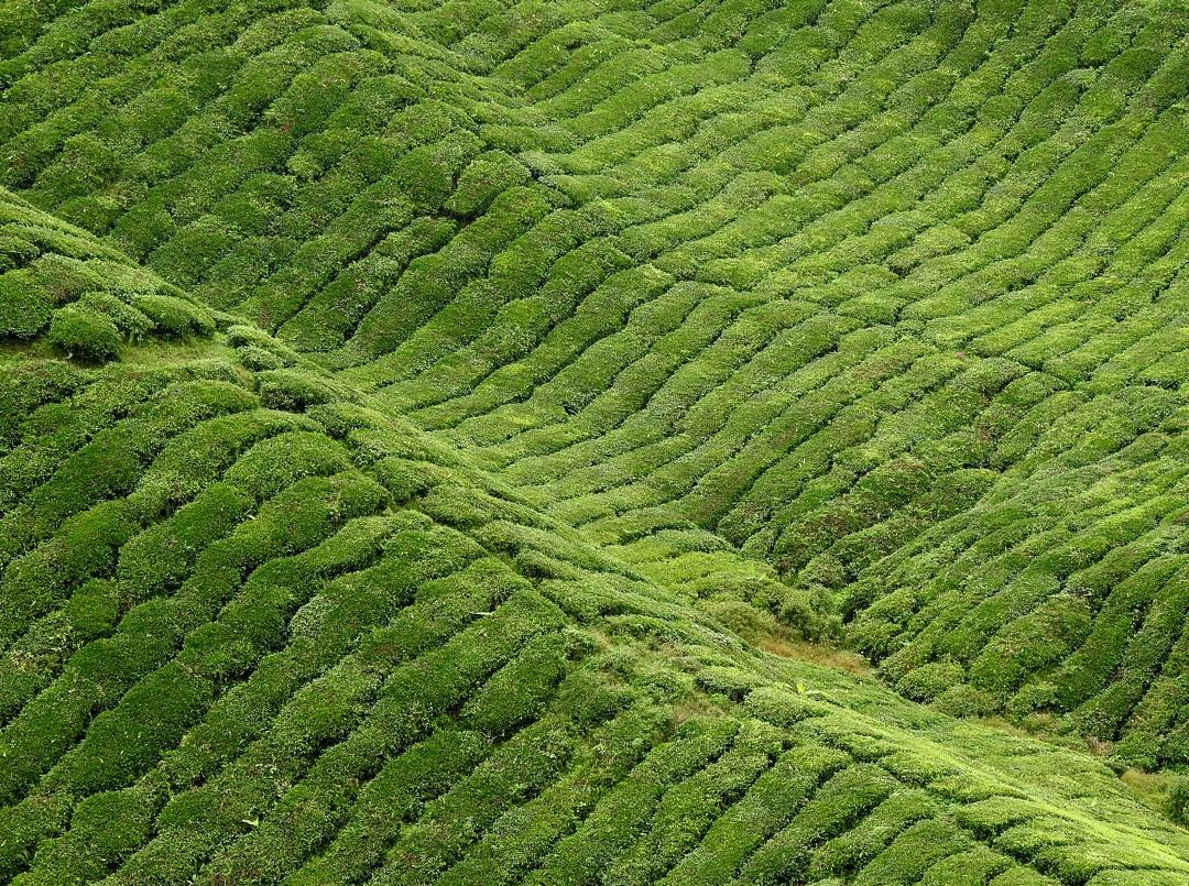 Estampas viajeras: Cultivos de té en Malasia