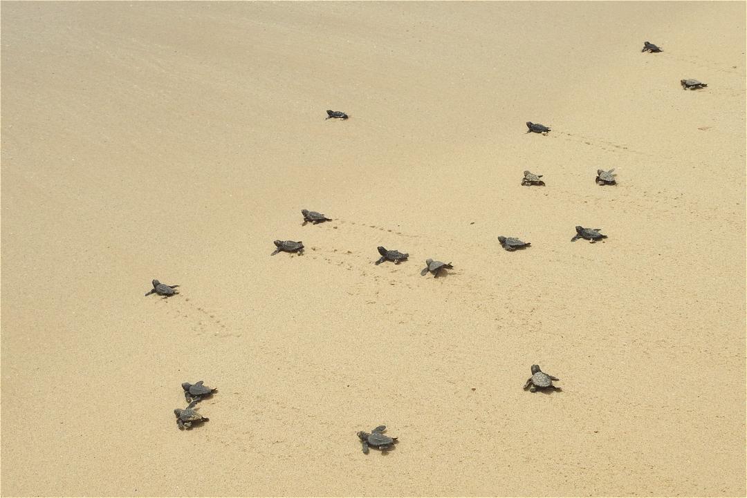 Tortugas en la isla de Boa Vista, Cabo Verde