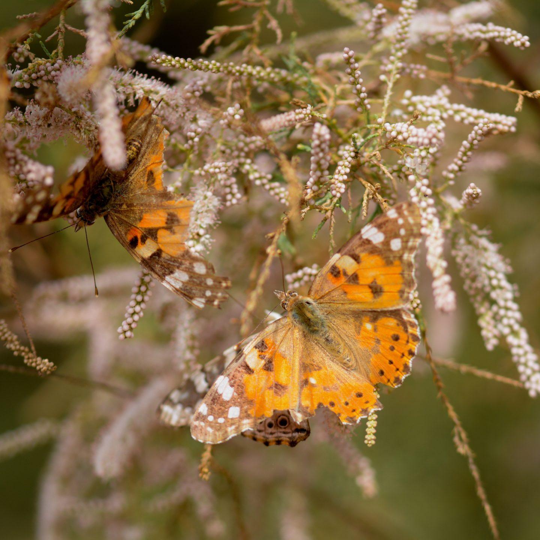 El largo viaje de la mariposa Vanesa de los cardos