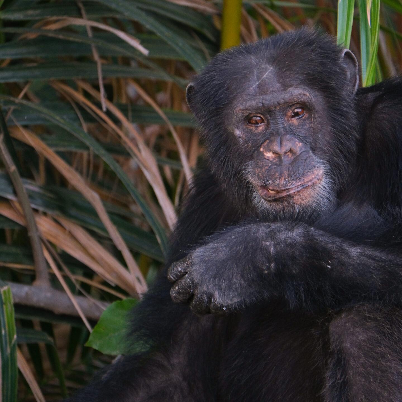 Fotografiar chimpancés en Gambia