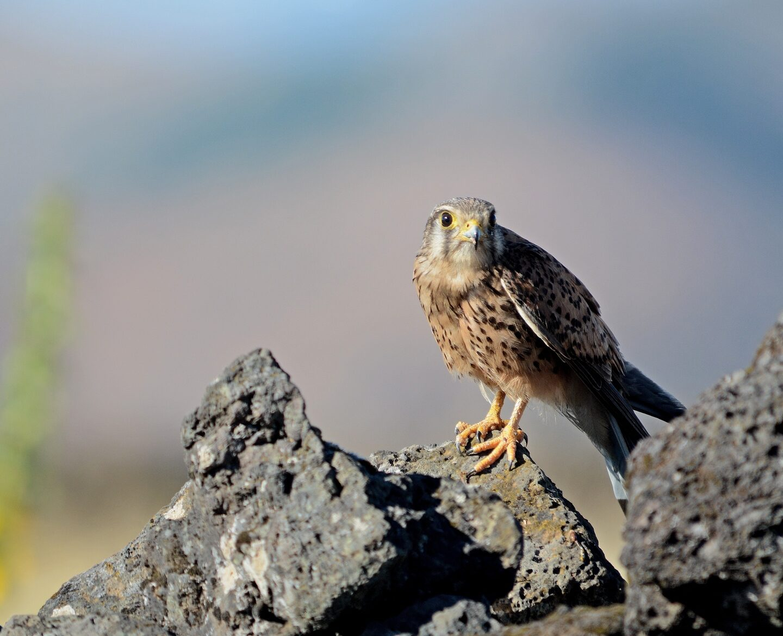 Observar aves en la isla de El Hierro
